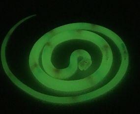 Glow In Dark Snake